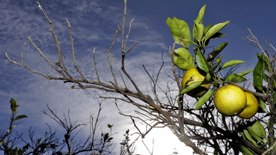 sickly citrus fruits on a half-bare tree